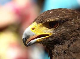 águila real foto