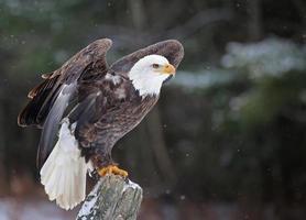 stellte Weißkopfseeadler foto