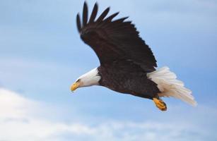 eine Nahaufnahme eines fliegenden Weißkopfseeadlers foto