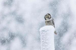nördliche Habichtseule, die im Schneesturm auf einem Telefonmast sitzt foto