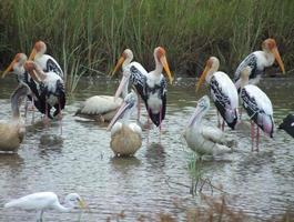 Herde bemalter Storche, Pelikane und Reiher, die sich intensiv ernähren foto
