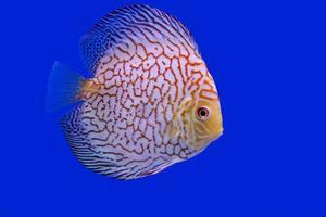Diskusfisch, Albinoturquoise Schlangenhaut foto