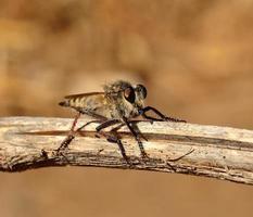 Efferia albibarbis auf einem trockenen Ast