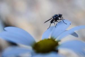 fliege über die Blütenblätter foto