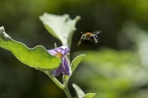 Biene fliegt zur Blume. foto