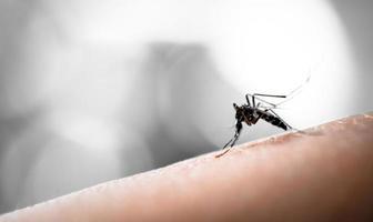 Mücke saugt Blut foto