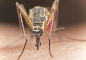 Mücke saugt Blut, extreme Nahaufnahme