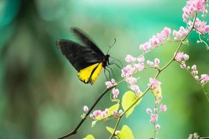gewöhnlicher Vogelflügelschmetterling, der sich von Honolulu Creeper Blumen ernährt foto