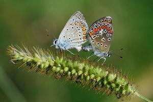 polyommatus icarus, Paarung foto