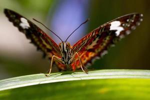 orange Vogelflügelschmetterling mit ausgebreiteten Flügeln foto
