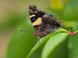 Schmetterling gelber Admiral, Vanessa Itea, männlich, australische Butterf foto