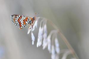 Schmetterling - gefleckter Perlmutterfalter (Melitaea didyma) foto