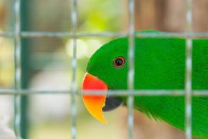 Eclectus Papagei in Vogelkäfig Nahaufnahme