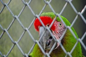 grüner Papagei foto