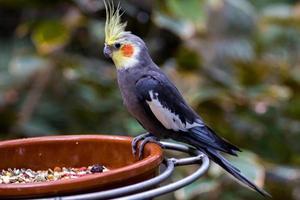 grauer Papagei