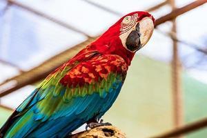 roter Ara oder Ara Kakadus Papagei foto