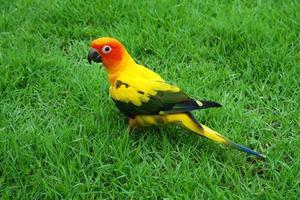 schöne Sonne conure Vogel auf der Wiese foto