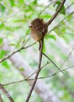 philippinischer Tarsier, kleinster Primat der Welt foto