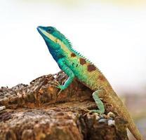 blauer Leguan in der Natur foto