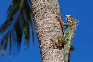 grüner Leguan auf einem Palmenstamm foto