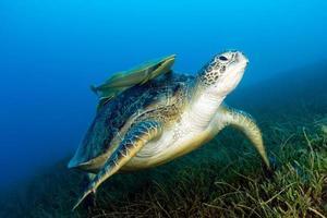 grüne Meeresschildkröte mit angebrachter Remora auf Seegras