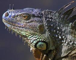 wilder grüner Leguan foto