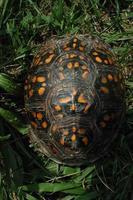 Dosenschildkrötenpanzer von oben genommen