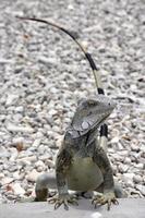 Leguan Bonaire