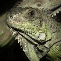 grüne Leguane foto
