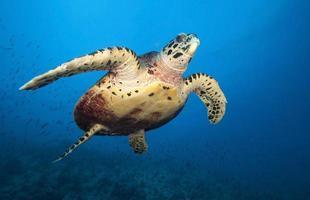 Hawkbill Meeresschildkröte foto
