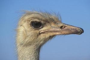 Strauß, Struthio Camelus foto