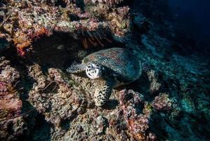 grüne Meeresschildkröte, die im Derawan, Kalimantan, Indonesien-Unterwasserfoto schwimmt foto