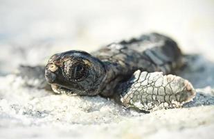 Unechte Karettschildkröte schlüpfen foto