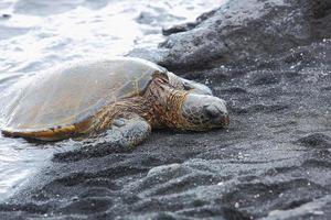 schöne gefährdete grüne Meeresschildkröte foto
