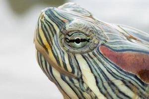 Schildkröten- / Schildkrötenkopf hautnah