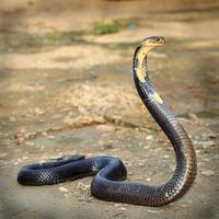 Kobra foto