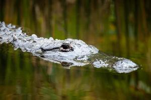 amerikanischer Alligatorkopf direkt unter Wasser mit reflektiertem Schilf foto