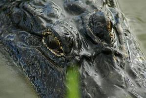 Alligator starren foto