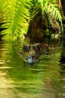 Alligator oder Krokodil foto