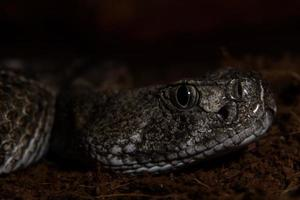 Texas Rassel Schlange nah oben bereit, aus der Dunkelheit zu schlagen foto