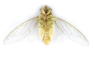 Zikadeninsekt foto