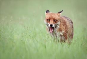 Fuchs knurren foto
