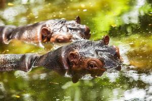 Nilpferd im Wasser. foto