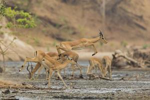männlicher Impala (Aepyceros Melampus) springt über Schlamm foto