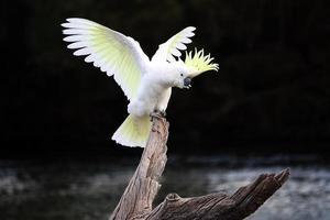 australischer Kakadu mit Schwefelhaube auf Baumstamm mit dahinter ausgebreiteten Flügeln foto