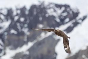 Skua fliegen in der Antarktis