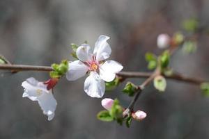zwei Holzapfelblüten.