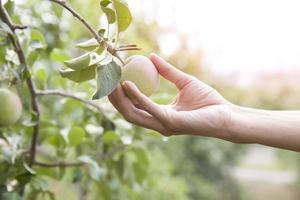 Hand pflücken einen Apfel von einem Baum foto