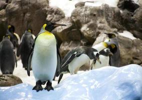 erwachsener Pinguin foto