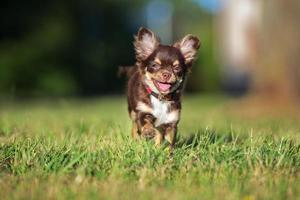 brauner dreifarbiger Chihuahua-Welpe foto